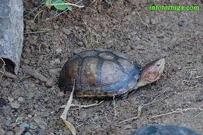 Macho de Kinosternon cruentatum - Tortuga candado
