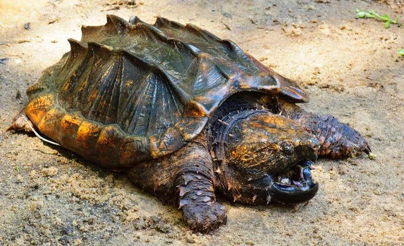 Resultado de imagem para tartaruga-aligator