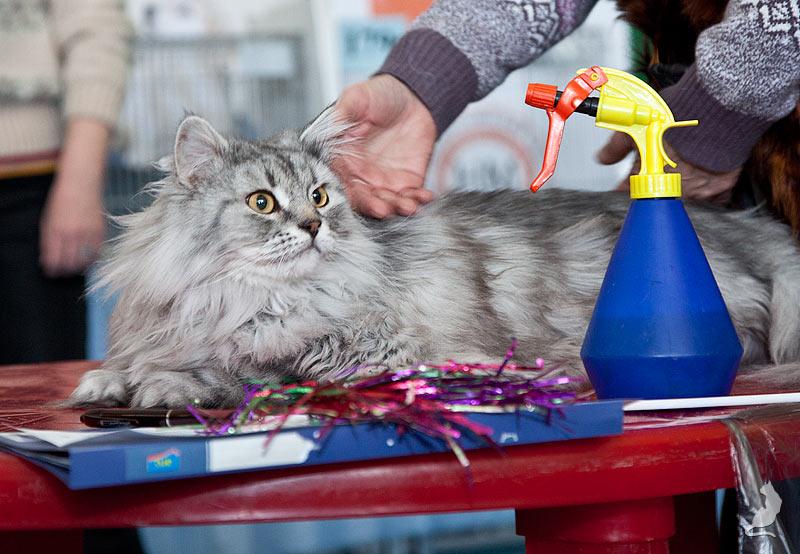 Выставка кошек в Реутове, шоу домусов, домусы