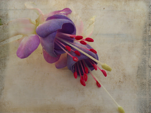 Fuschia, Sarah's Delta, floral image