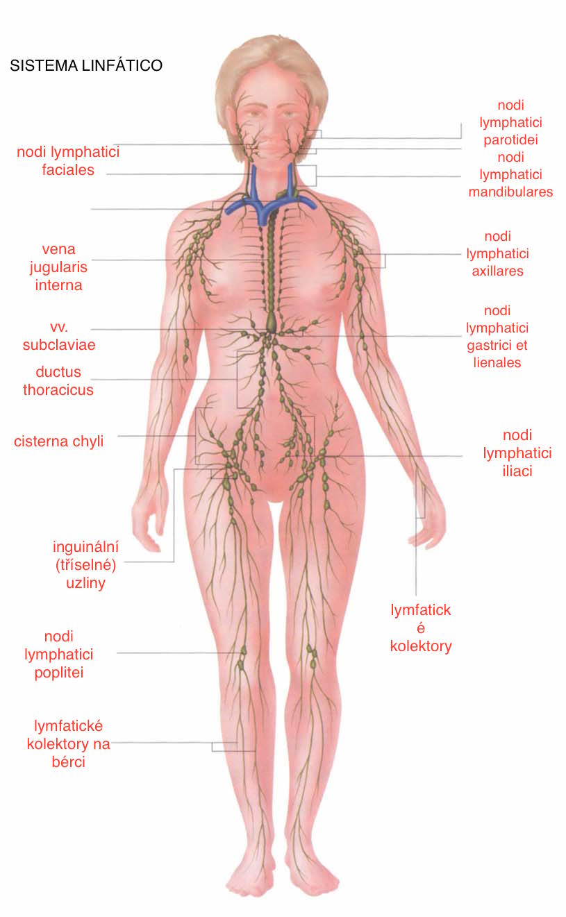 Joalis mi camino hacia la salud: Sistema Linfático