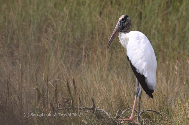 Florida Everglades National Park Shark Valley Wood Stork Bird