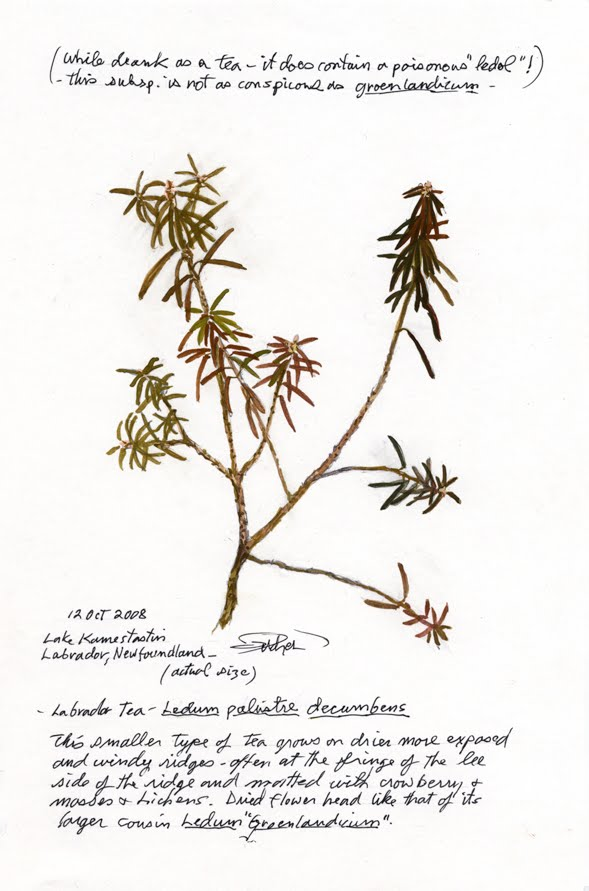 Labrador Tea Drawing John c Pitcher Drawing