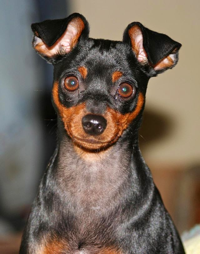 Image Result For Chihuahua Dog Coloring