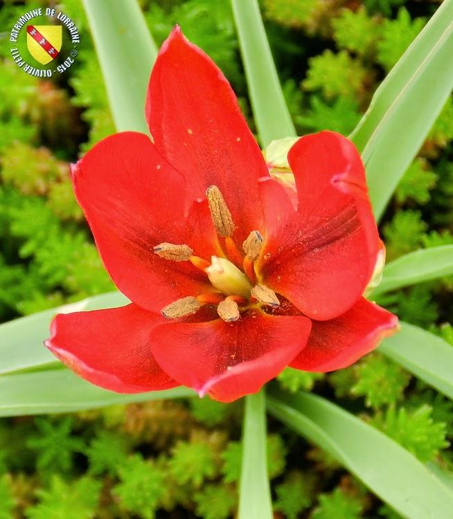 VILLERS-LES-NANCY (54) : Le jardin botanique du Montet-Hélianthème commun