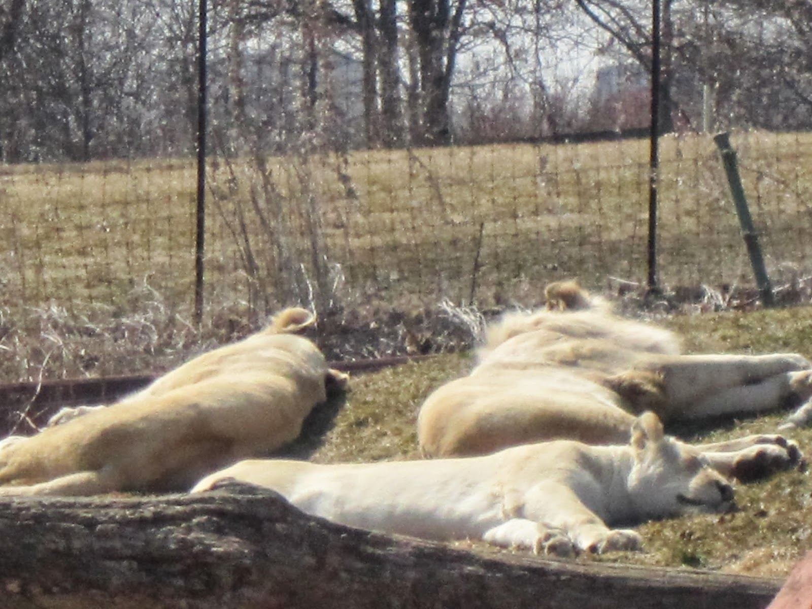 white lions, zoo, Toronto Zoo, animals, animal photography
