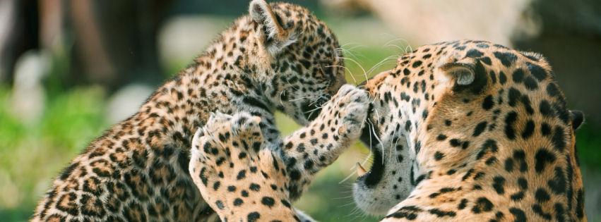 Jaguar cub fighting mother facebook cover