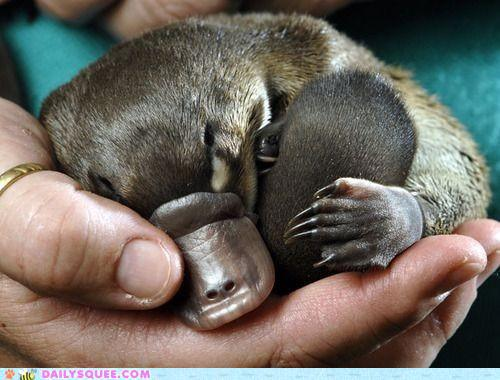 charming babies platypus facts pod