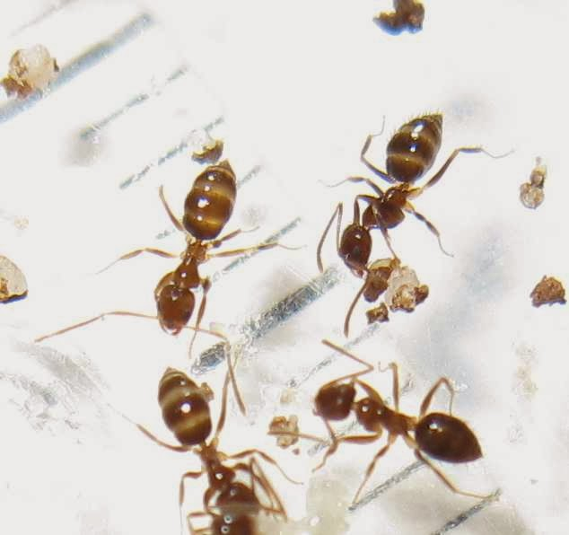 Worker ants of Nylanderia sp