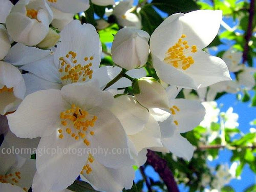 Mock-orange flower closeup-Philadelphus coronarius