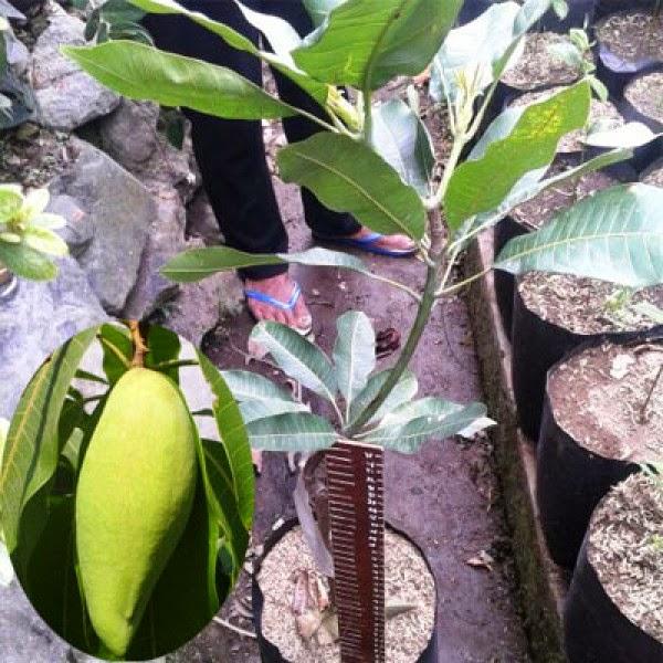 bibit tanaman mangga garifta
