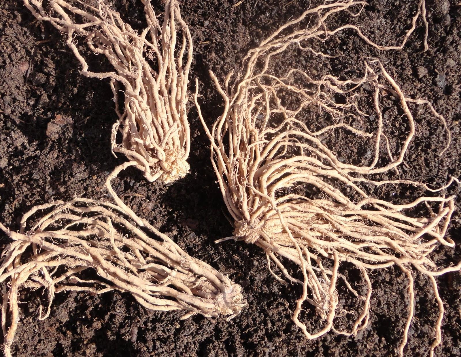 Garras de espárragos sobre el terreno dispuestas para ser plantadas.