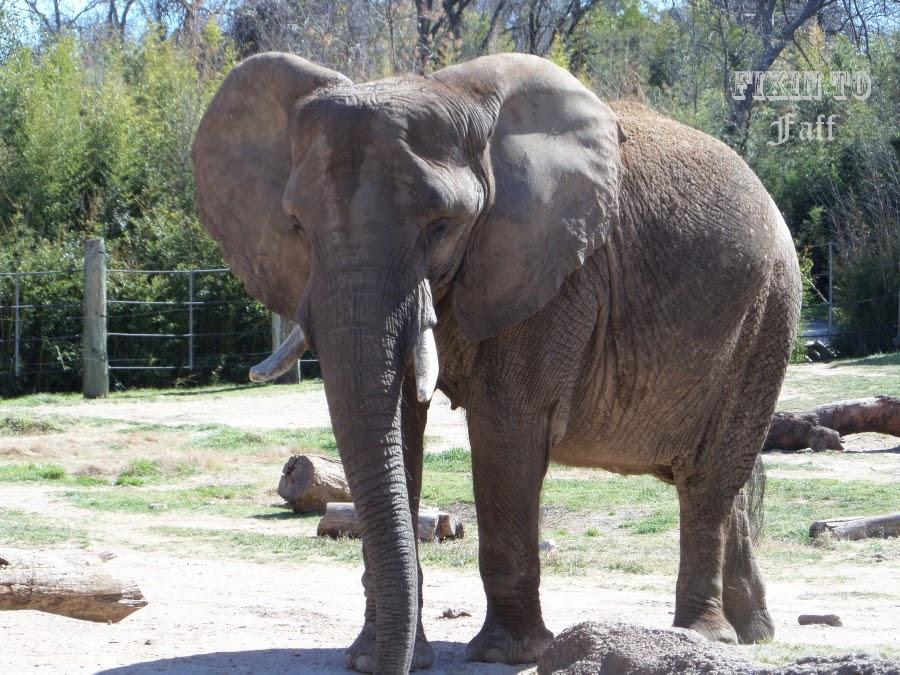 Cameron Park Zoo African Elephant