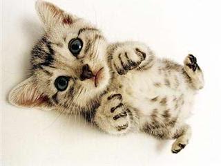 ประวัติแมว