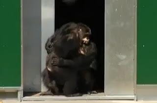 Cimpanzi berpeluk lepas baru tengok matahari