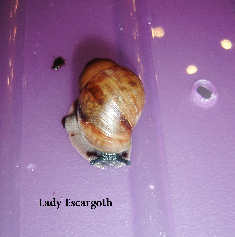 bébé achatine escargot