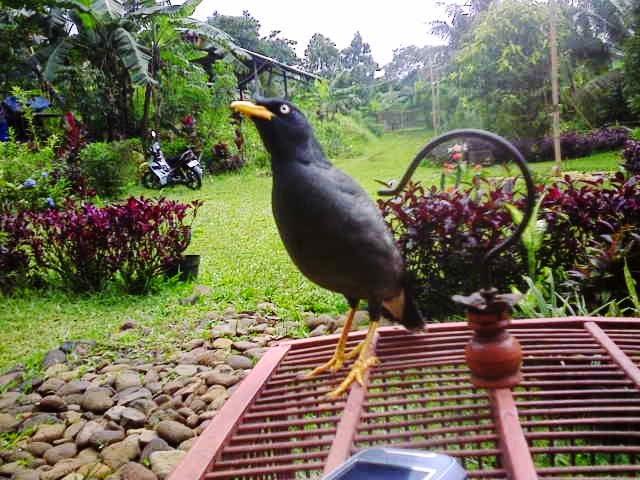 Gambar Cara Merawat Burung Jalak Kebo