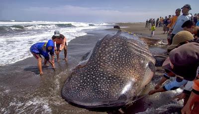Ikan yu yang terdampar di tepi pantai ini tidak dapat kembali ke laut kerana hilang sokongan apungan daripada air