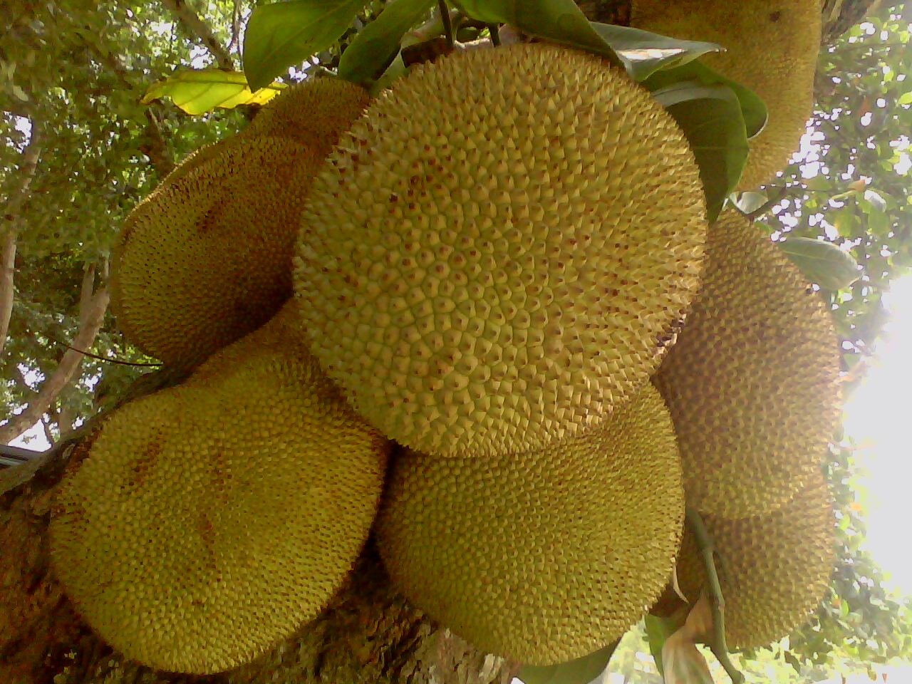 desktop bangladesh fruits pictures - photo #42