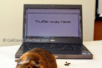 guinea pig link roundup Truffle on laptop