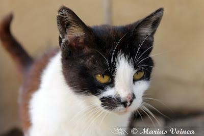 pisica alb cu negru