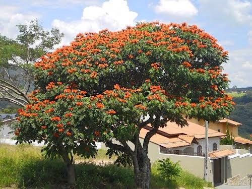P tio das flores rvores ornamentais para o paisagismo for Planta ornamental jacaranda