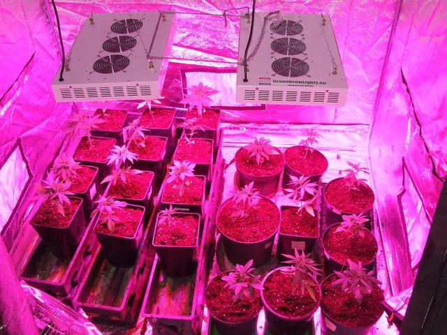 cannabis seeds - grow cannabis indoor