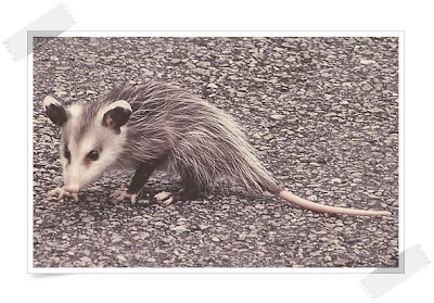 Possum Tail