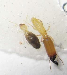 Pericaprutermes dolichocephalus termites