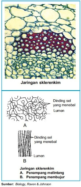 Struktur jaringan sklerenkim