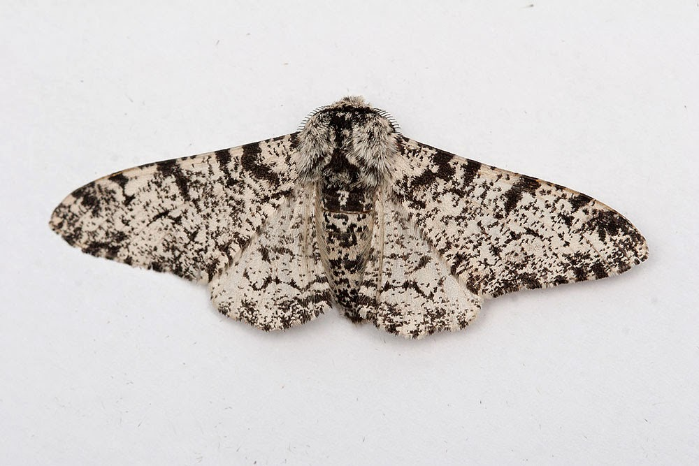 Peppered Moth (2 of 2) - Great Holm, Milton Keynes