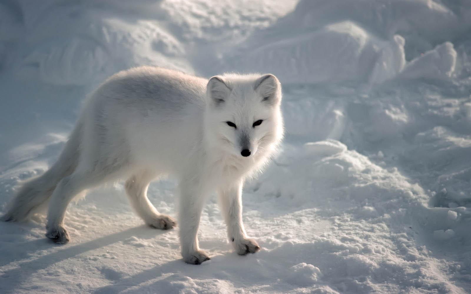 wallpapers arctic fox wallpapers