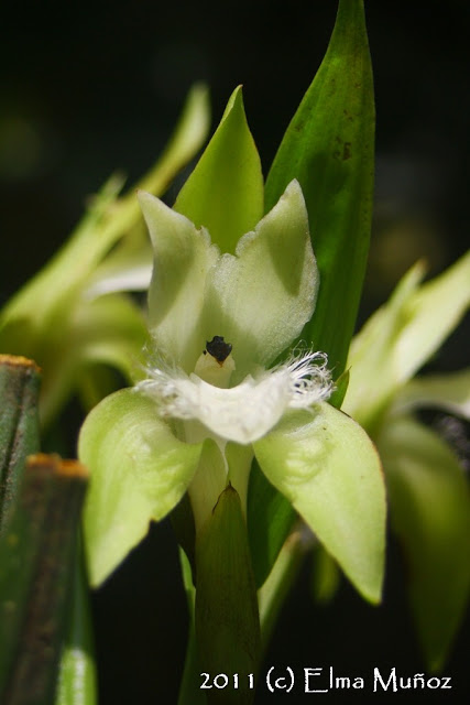 Orquideas del Peru : Ida cobbiana
