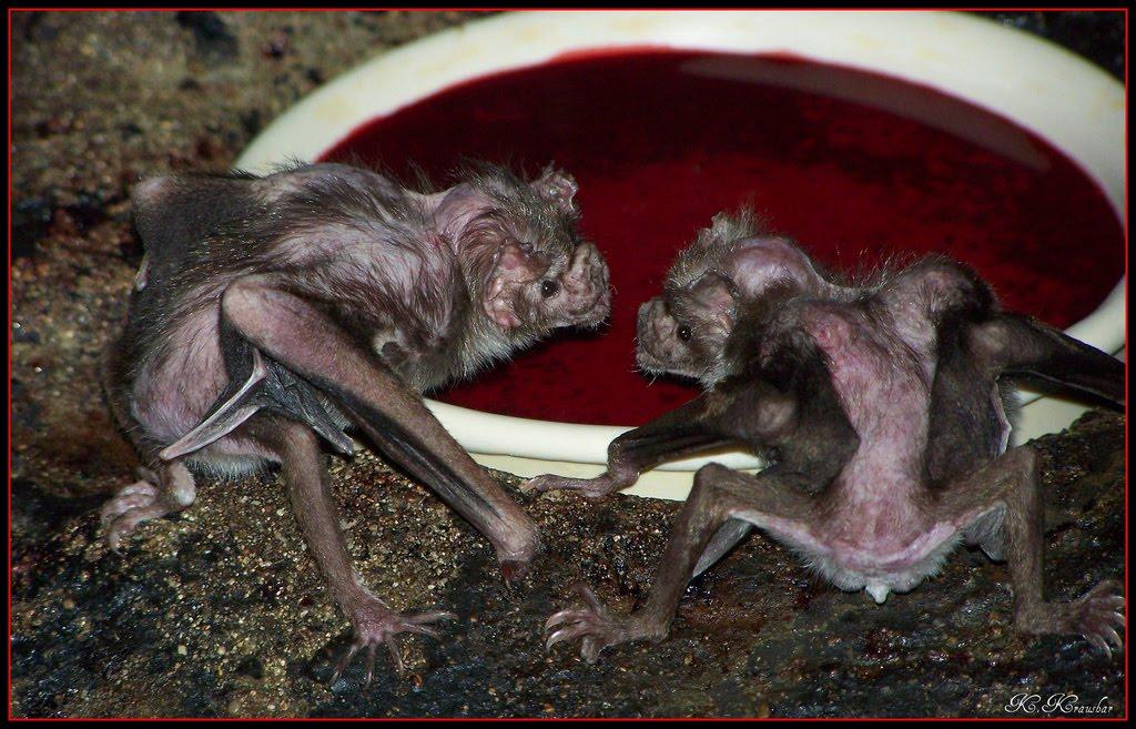Vampire bat - Wikipedia