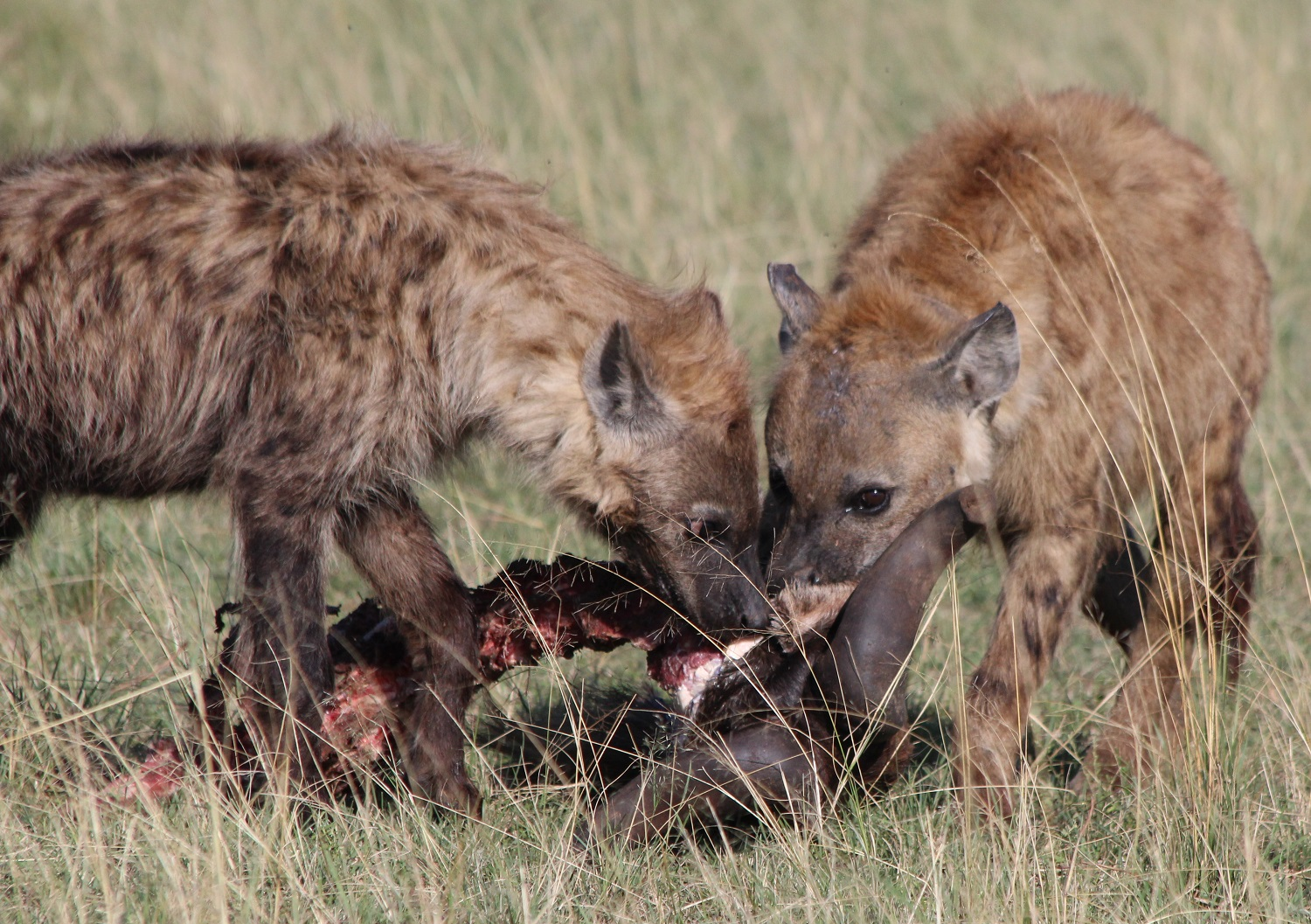 Notes From Kenya: MSU Hyena Research: February 2016