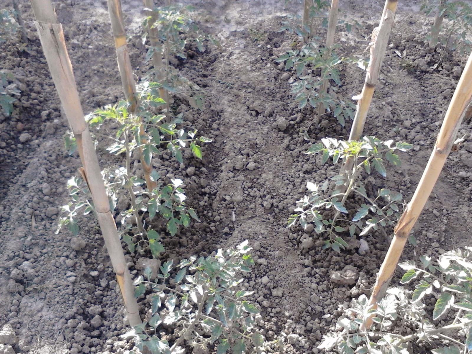 L 39 orto auto produzione michaeldiario - Semina pomodori luna ...