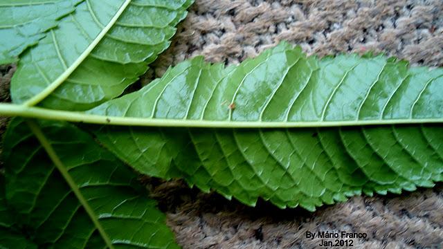 ipe de jardim familia:IPÊ-DE-JARDIM – ( Tecoma stans ) – Detalhe de um folíolo: página