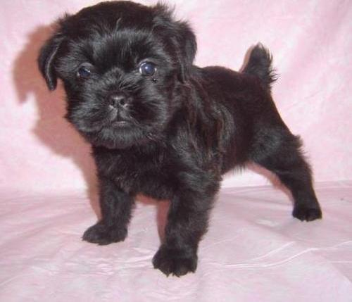 affenpinscher puppy pictures review the affenpinscher is an active dog