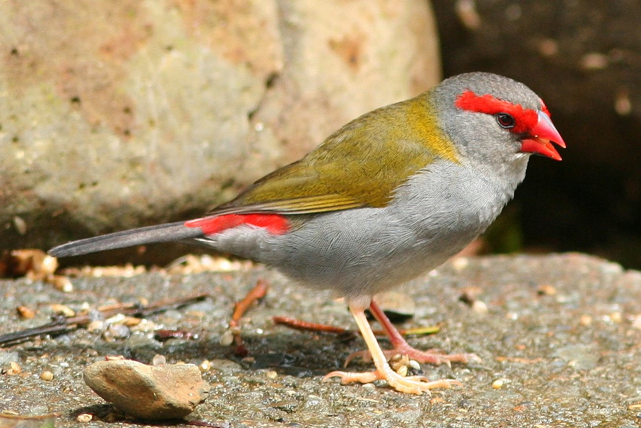 Red-browed_Finch.jpg