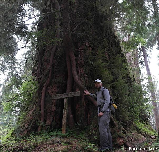record Douglas fir