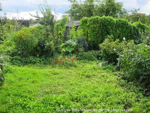 аленин сад, часть3, до, после, участок, дача, освоение участка, целина, сад, огород, вьюнок полевой, ревень, смородина