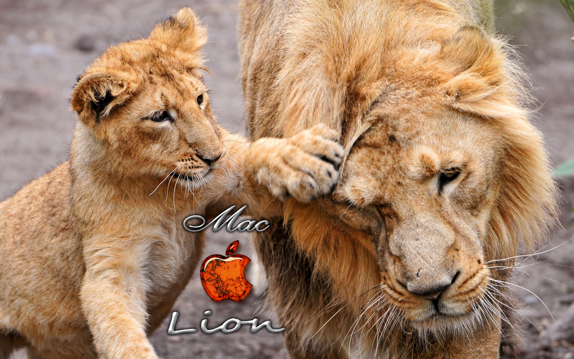 Must see Wallpaper Macbook Lion - Lion+wallpapers+apple+2  Collection_278125.png