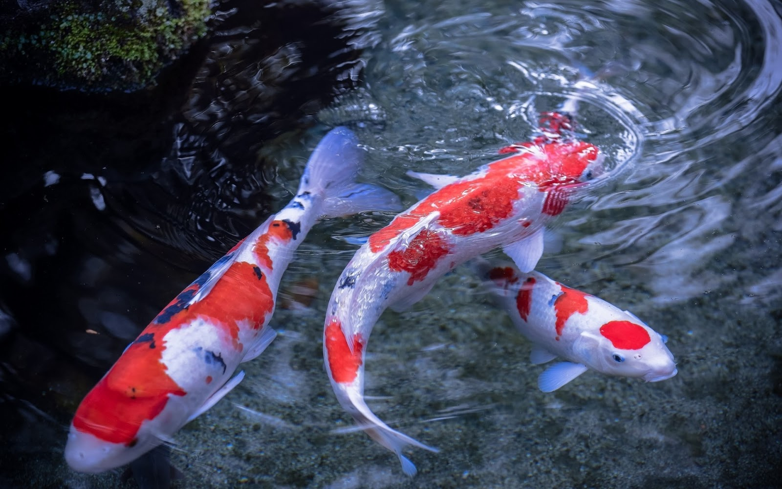 World 39 s largest koi related keywords world 39 s largest koi for Biggest koi fish