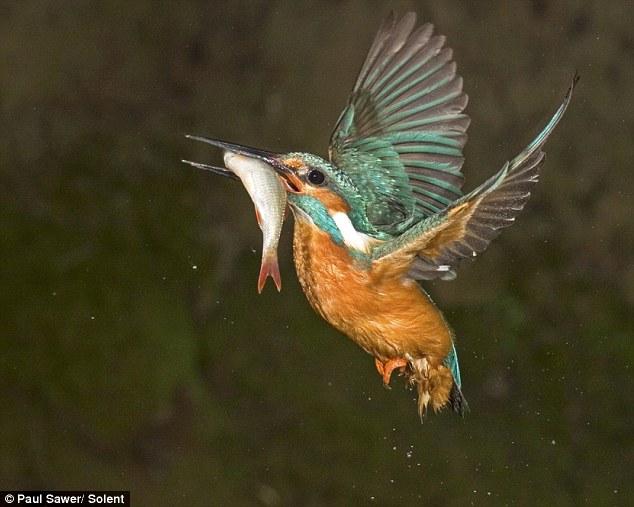 Gambar-gambar Burung Raja Udang yang mengujakan oleh Paul Sawer