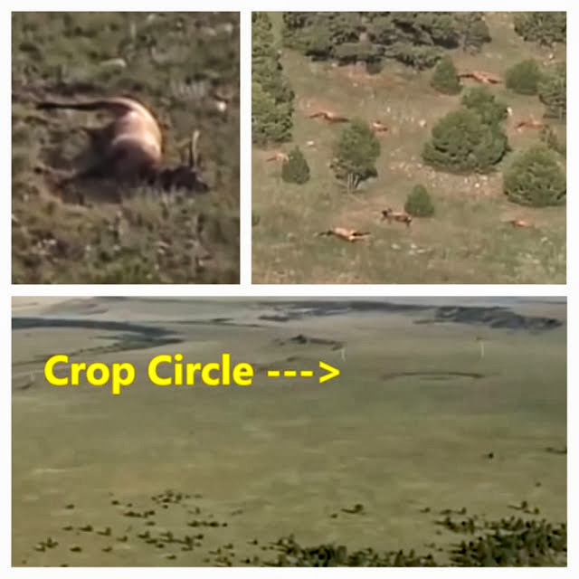 Crop Circle Seen Near 120 Dead Elk Suggesting Possible UFO Attack
