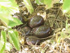 Ninho de codorniz com ovos