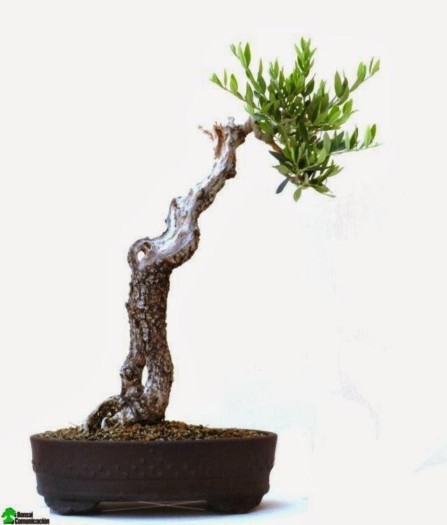 Cartagena bonsai tecnicas para ramificar for Literati bonsai gallery