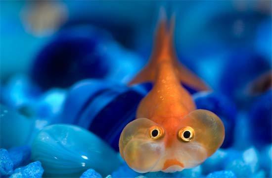 Bubble eye goldfish pictures fun animals wiki videos for Fish eye fun