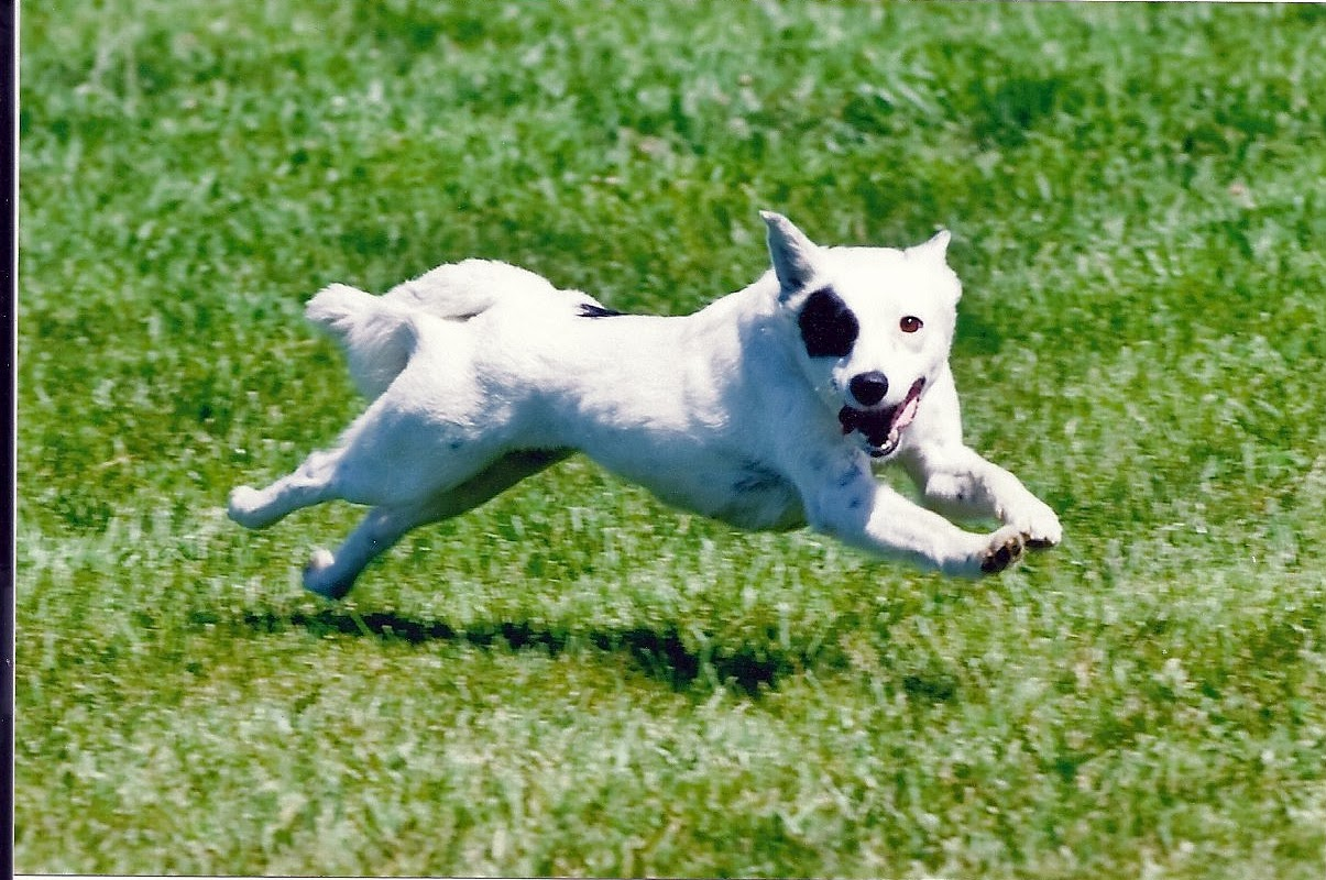 Dot Lure Coursing in Hollister