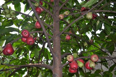 Pohon Jambu Bol Berbuah